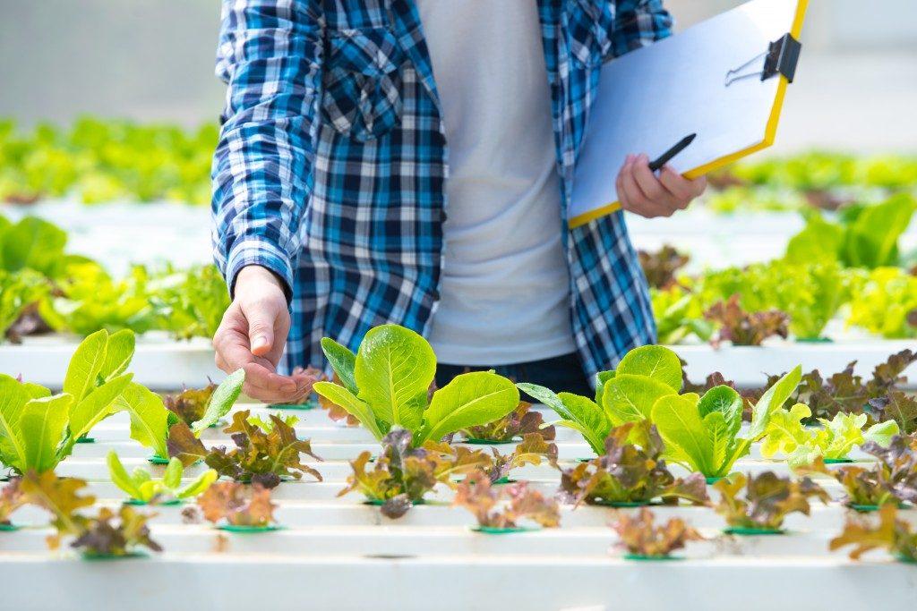 Farmer checking the plants