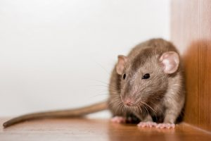 Rat in a corner of a house