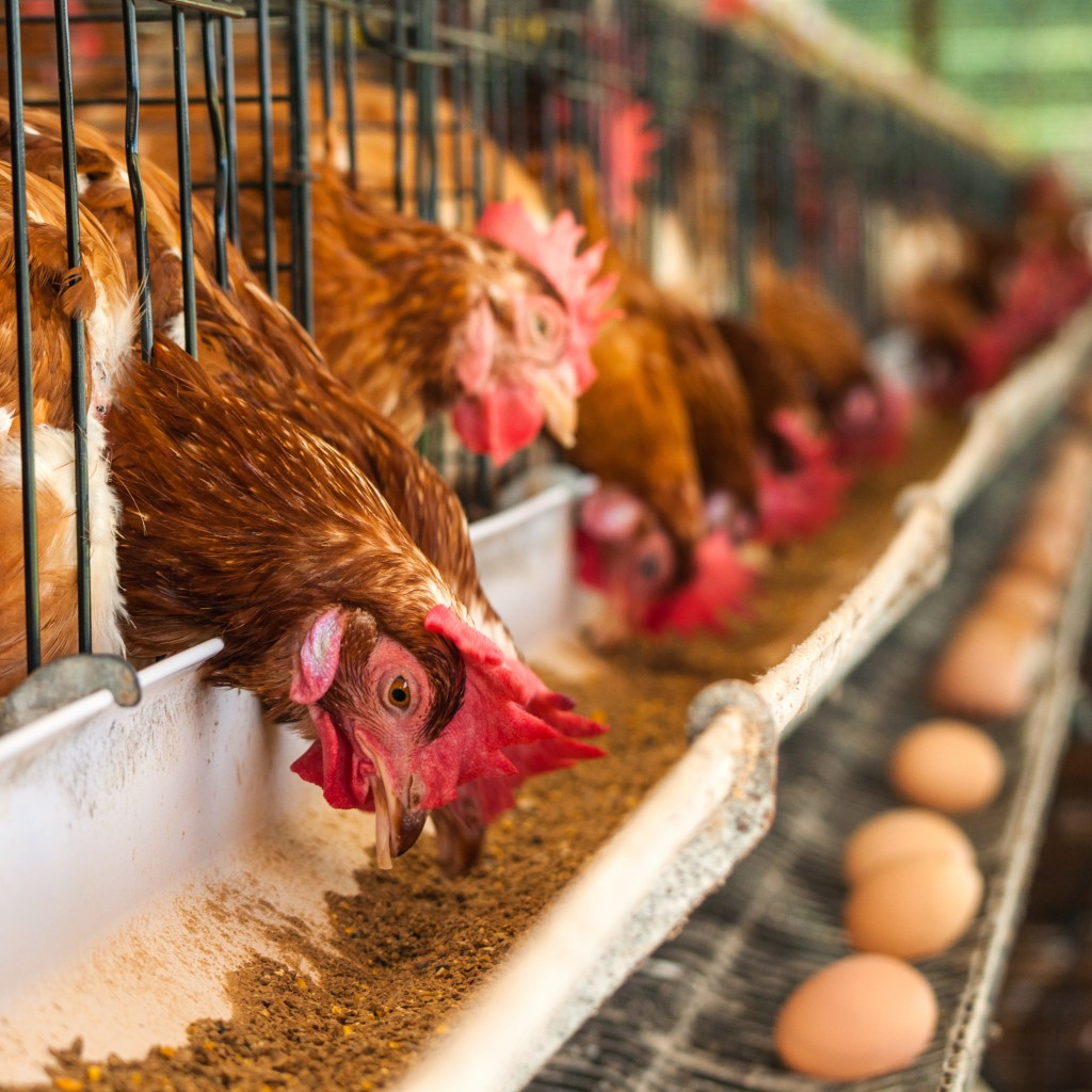 Hundreds of chicken eggs
